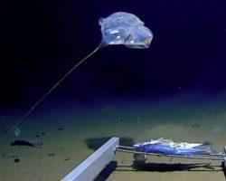 Հնդկական օվկիանոսի խորքերում արտասովոր մեդուզա է նկատվել