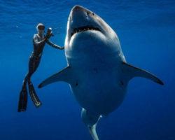 6 մետր երկարություն և 2.5 տոննա քաշ. ջրասուզորդներին հաջողվել է լուսանկարվել աշխարհի ամենախոշոր սպիտակ շնաձկան հետ