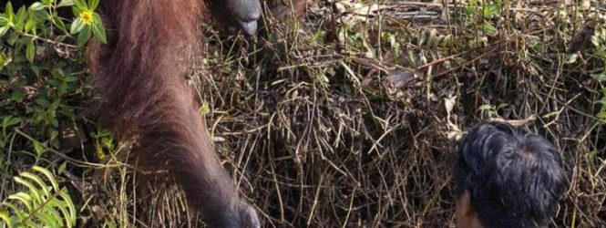 Օրանգուտանն օգնության ձեռք է մեկնել օձերով  լի գետում հայտնված տղամարդուն