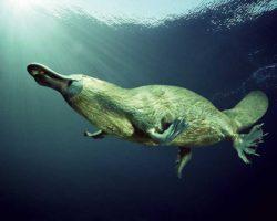 Չինաստանում հնԷաբանները հայտնաբերել են 250 մլն տարի առաջ ապրած վիթխարի «բադակտուցի» մնացորդներ